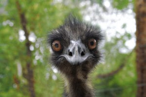 Staring Emu Stock Photography