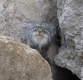 Pallas Cat Video